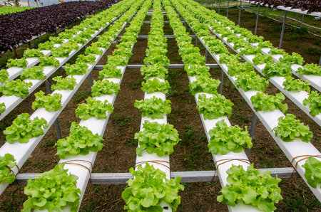Hydroponics,Organic fresh farme,Organic fresh harvested vegetables,Farmers looking fresh vegetables. Farmers working with organic hydroponic vegetable garden at greenhouse. Reklamní fotografie