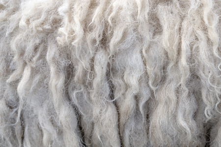Wool sheep closeup for background ,Raw wool background. Also softness, warmness concept.