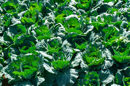 rows of fresh green Cabbage farm at Phu Thap Buek,Phetchabun province of Thailand.