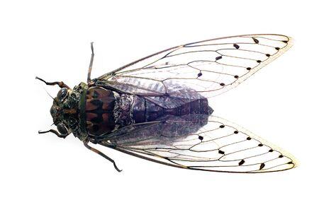 Large brown cicada, cicada isolated on white background Zdjęcie Seryjne
