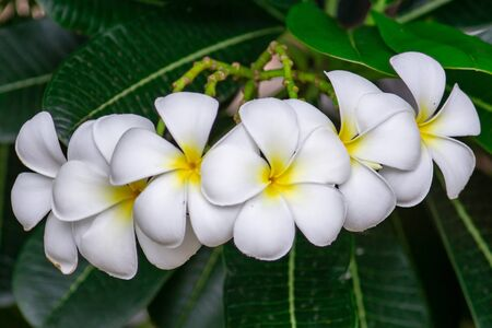 white plumeria rubra flowers on tree, Frangipani Spa Flowers background
