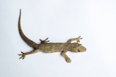 House lizard or little gecko close up on white background