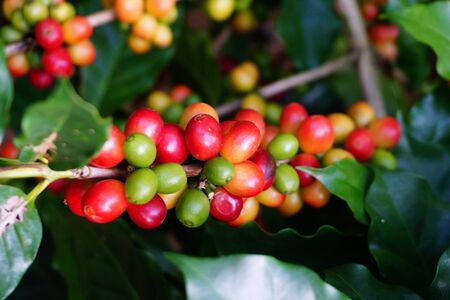 Raw coffee beans on the coffee tree
