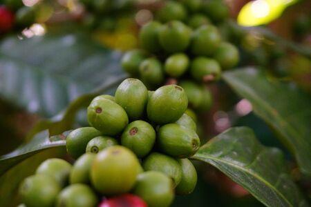 Raw coffee beans on the coffee tree