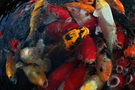 Japan Koi-Fische schwimmen in einem Wassergarten, ausgefallene Karpfenfische, Koi-Fische, Koi-Fische schwimmen im Teich. Der Hintergrund ist schwarz. Ausgefallene Karpfen oder Koi-Fische sind rot, orange