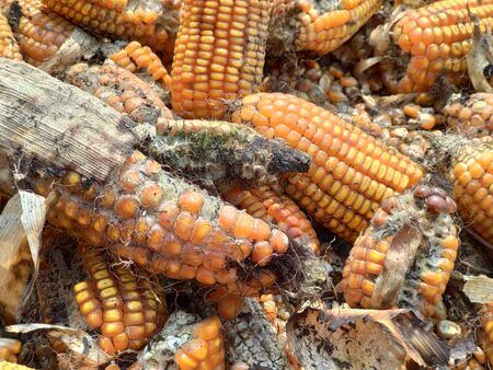corn rot,The fungi A. flavus and A. parasiticus producer of mycotoxin in corn used for food and animal feed in storage.