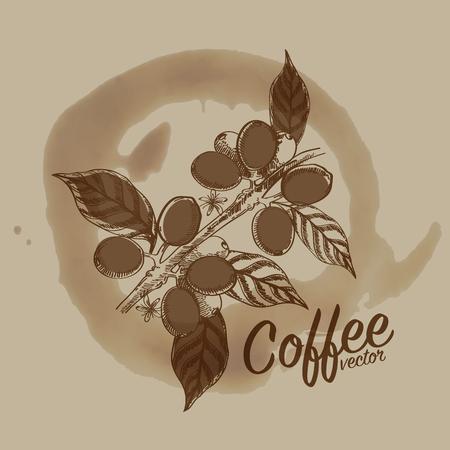 coffee tree: coffee beans