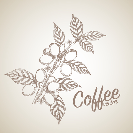 grano de cafe: granos de café Vectores