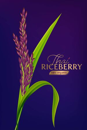 organic paddy rice, ear of paddy, ears of Thai riceberry rice isolated vector illustration