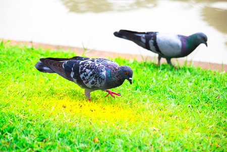 Birds Is Look For Food On Grass In The Garden,living Of Dove Or Pigeon