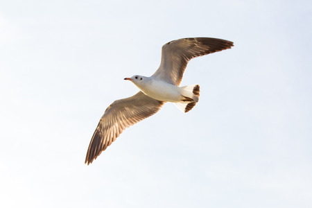 Beautiful wings and flying of seagull on sky