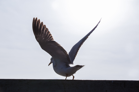 Seagull is flying with beautiful wings at silhouette