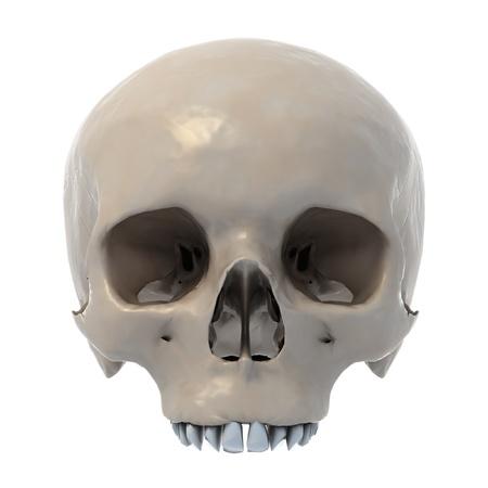 human skull 3d illustration isolated on white background  illustration
