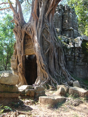 angkor wat tree    photo
