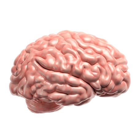 brain illustration: Human brain 3d illustration Stock Photo