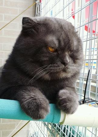 eye: Scottish fold cat with folded ears Stock Photo