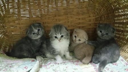 doll: Kittens Scottish fold them cute.