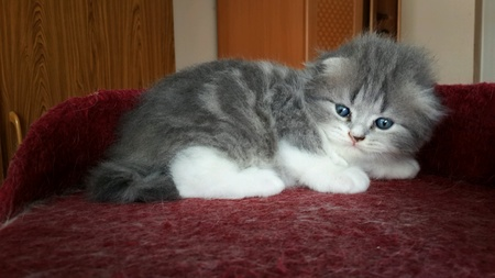 eye: Scottish fold blue tabby and white color.