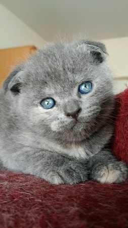 eye: Scottish fold blue-cream color. Stock Photo