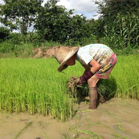 rooting: Boy rooting rice seedlings on field