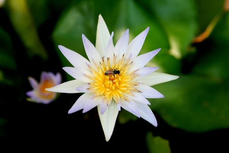 This is waterlily or lotus in asia. Stock Photo - 9096837