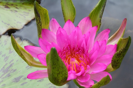 corbel: Lotus  or water lily  flower in asia.