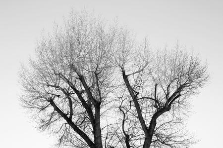 arboles secos: Los árboles muertos blanco negro y fondo gris.