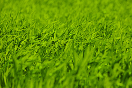 Green shoots of wheat in a field