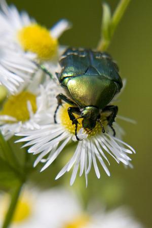 daisywheel: green bug on daisywheel
