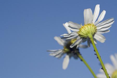 daisywheel: nature, daisywheel on background blue sky Stock Photo