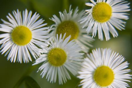 daisywheel: daisywheel on green background