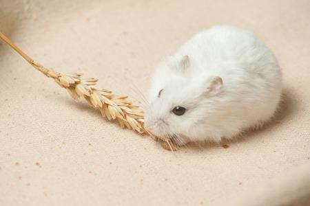 小さなハムスターは荒布を着た、種子を食べる