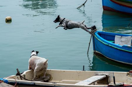Dog, jumping in to the sea in Marxashlokk, Malta
