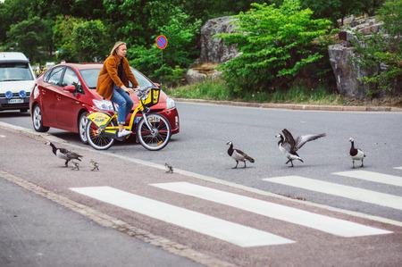 Helsinki, Finland - June 30, 2018: Birds with nestlings crossing road by pedestrian crossing