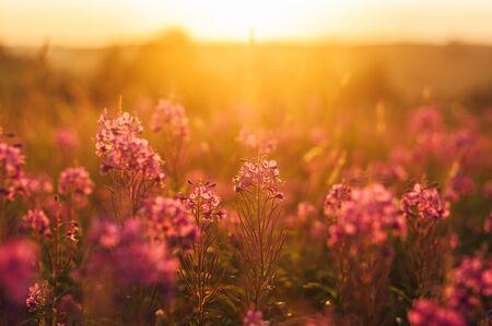 Floraison violet Sally au soleil le soir