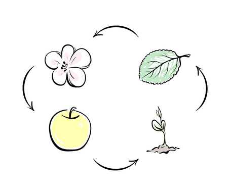 For example, the cycle of nature apple. Apple flower turns into a fruit, the fruit falls to the ground and turns into apple sprout, sprout becomes a tree, leaves and flowers appear. Cycle is closed. Illustration