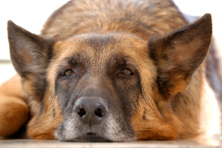 sad dog: old tired dog, German Shepherd,