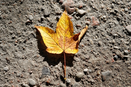 old yellow maple leaf lying on the ground, background photo