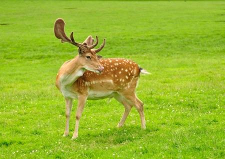 fallow deer: fallow deer on a green grass Stock Photo
