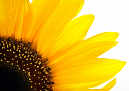 sun flower closeup on white Stock Photo - 15280876