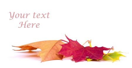 autumn leaf on white background with text space photo