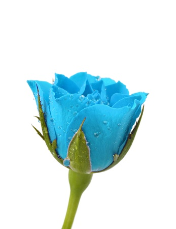 blue rose: blue rose with drops of water on a white background Stock Photo