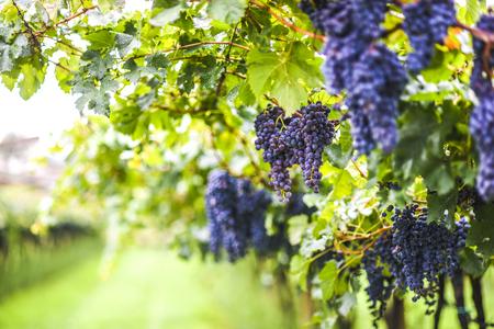 イタリアのブドウ畑のブドウを栽培 写真素材