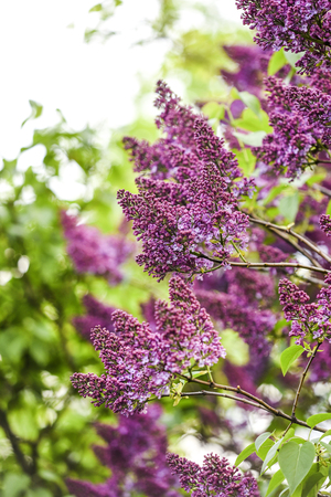 Blooming lilac flowers in garden, spring time. Stock Photo