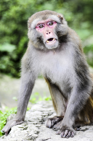 A portrait of monkey in jungle in India. Stock Photo
