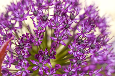Close up of flower onion flowers in garden, summer time. Stock Photo