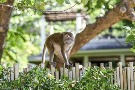 Monkey walking on a fence in Krabi, Thailand. Stock Photo
