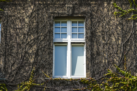 Ivy windows in the old building, summer sunny weather Stock Photo