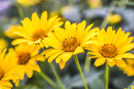 coneflowers: Yellow coneflowers blooming in  garden, summer time early autumn. Stock Photo