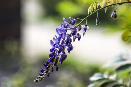 Purple wisteria blooming in the garden, summer time in Poland.